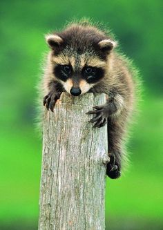 Baby raccoon holding onto a post.