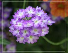 Verbena Verbena, Purple Flowers, Garden, Plants, Garten, Lawn And Garden, Gardens, Plant, Gardening