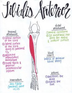 Muscular Anatomy 101 // A Full Set of Drawn Muscles with Attachments, Innervations, Blood Supplies, and Actions! Anatomy Study, Anatomy Reference, Pose Reference, Examen Clinique, Cabinet Medical, Muscle Anatomy, Leg Muscles Anatomy, Ankle Anatomy, Gross Anatomy
