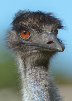 Emu.  Stands up to 2 metres high. Occurs throughout mainland Australia but avoids thickly forested coastal areas.