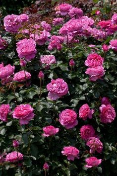 Meilland Fragrant Climbing Garden Rose Yves Piaget Doesn't it look a lot like the peony named 'Kamata Nishiki'?