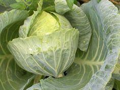 cabbage -winter/spring 2012