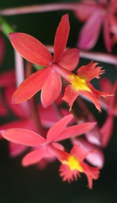Epidendrum puniceoluteum - Flickr - Photo Sharing!  Looks like a Hummingbird visiting a flower - at first glance.