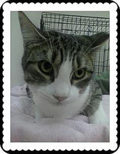 Trevose, PA - Domestic Shorthair. Meet Kyle, a kitten for adoption. http://www.adoptapet.com/pet/17366422-trevose-pennsylvania-kitten