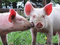 Pig kiss...