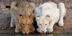 23 Albino Animals So Stunning You Will Literally Gasp 23 Albino Animals So Stunning You Will Literally Gasp Rare Albino Animals, Unusual Animals, Albino Gorilla, Albino Hedgehog, Melanistic Animals, Rare Dogs, Deer Photos, Most Beautiful Animals, Beautiful Dogs