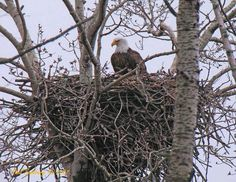 Eagles nest - considering that that bird stands about tall and weights about 50 lbs., you can tell the size of the nest.Have a few eagles near us! Enjoy seeing them! Beautiful Birds, Animals Beautiful, Beautiful Moments, Bird Stand, Eagle Nest, Eagle Wings, American Symbols, Native American, Bird Pictures