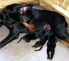 Doberman Breeders, Doberman Puppies For Sale, Dobermans, Black And Tan Terrier, European Doberman, Cats, Gatos, Doberman, Cat