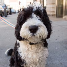 """Taco, Portuguese Water Dog (6 y/o), 23rd & 5th Ave., New York, NY • """"He likes people, but not other dogs."""" @tacoandchalupa"""