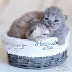 """From @oxfordthescottishfold: """"The puppies in the pic are the babies of Oxford - a cream scottish fold - and Cambridge - a british shorthair lilac."""" #cutepetclub"""