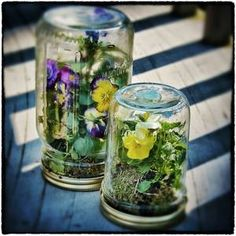 DIY: Want To Make A Pansy Terrarium In A Mason Jar? (The cats eat all my plants so a terrarium is my only option for indoor plants) Mason Jar Terrarium, Mason Jars, Terrarium Plants, Mason Jar Crafts, Glass Jars, Clear Glass, Indoor Garden, Indoor Plants, Garden Fun