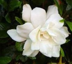 AUGUST BEAUTY GARDENIA  gardenia jasminoides 'august beauty'