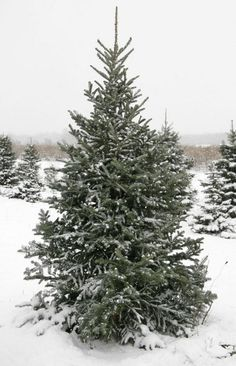 Super simple tips on how to care for real Christmas Trees!  And where to buy them!  #shoplocally