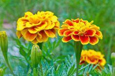 Studentenblume (Tagetes) super für Pesto, Gelee oder in Gewürzsalz. Kann man verwenden wie Basilikum, wächst aber schneller nach.