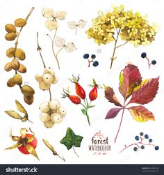 Watercolor Illustration With Branches, Leaves And Berries. Illustration With Branches, Leaves And Berries. Watercolor Set Of Winter And Autumn Forest Plants. Collection Of Herbarium Garden. - 342609149 : Shutterstock