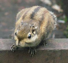 Tamiops_swinhoei,_Swinhoes_Striped_Squirrel,I_JSA1828.jpg 320×295 pixels