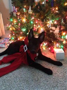 German shepherd puppy is the best Christmas gift there is :)