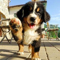 Mini Me: Bernese Mountain Dog #BerneseMountainDog