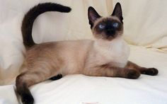 Thai Siam Katze