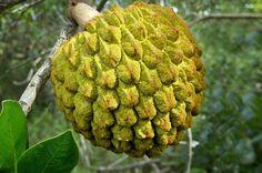 Araticum do Cerrado - Annona coriácea