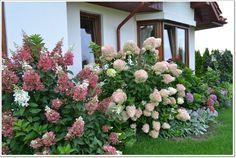 Obrazek Hydrangea Landscaping, Hydrangea Garden, Farmhouse Landscaping, Hydrangeas, Garden Cottage, Garden Art, Garden Plants, Front Yard Patio, Front Yard Landscaping