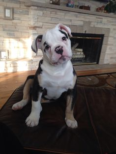 Luca. 4 month old , tri color , Olde English Bulldogge