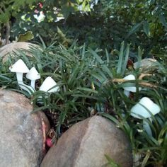 A Plastimake mushroom patch recently spotted in a Canberra garden.