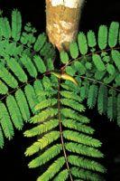 Las hormigas que defienden la Acacia collinsi de los herbívoros, habitan en el interior de las espinas huecas de la planta.