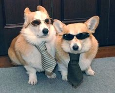 Its the blues corgis
