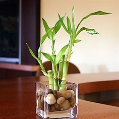 How to Take Care of Lucky Bamboo. Caring for a lucky bamboo plant is a relaxing pastime that's great for reducing stress. It's believed that keeping lucky bamboo inside houses and business places promotes happiness and prosperity. Lucky Bamboo Plants, Bamboo Tree, Bamboo House Plant, Potted Plants, Indoor Plants, Indoor Bamboo Plant, Water Plants, Bamboo Stalks, Ponds Backyard