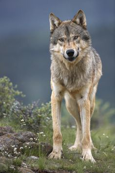 Gray Wolf, North America by Tim Fitzharris
