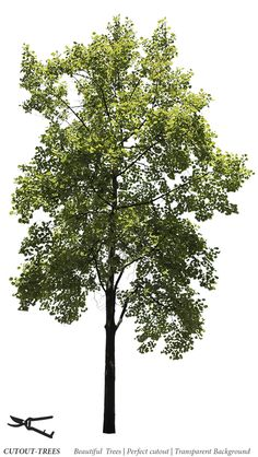 Liriodendron tulipifera Cutout photo of Tulip tree. Architecture Visualization, Landscape Architecture, Tulip Poplar Tree, Fast Growing Trees, Deciduous Trees, Green Trees, Tree Tops, Photoshop Design, Garden Landscaping