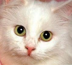 導讀:養貓的人越來越多,愛喵喵的人口不亞於養狗。貓咪敏銳神秘,表達情感比狗狗內斂。養貓的你知道如何鑑定貓咪的優劣?如何從貓眼睛鑑定貓咪的品種?如何鑑定小貓咪的性別?如何鑑定貓咪已經懷孕?以下文章我們一起來了解。