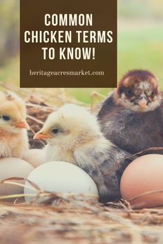 Raising Meat Chickens, Raising Backyard Chickens, Keeping Chickens, Backyard Farming, Chicken Facts, Chicken Feed, Building A Chicken Coop, Facts For Kids, Chickens And Roosters