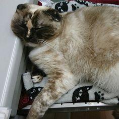 、 仕事中の私の癒しのおデブ凛ちゃん💓 引き出しをベッド代わりに爆睡中💤  My relaxing Rin-chan at work  #cat #猫 #愛猫 #猫好き #凛 #凛ちゃん #すこ #スコティッシュ垂れ耳 #スコティッシュフォールド #スコティッシュ #仕事 #癒し #可愛い #おデブちゃん #タヌキ #sleeping #すやすや #デスクワーク #working #healing