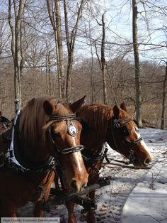 Wagon Rides in the Springwater Forest. Canadian Christmas, Maple Syrup, Ontario, Tourism, Canada, Horses, Spring, Animals, Animales