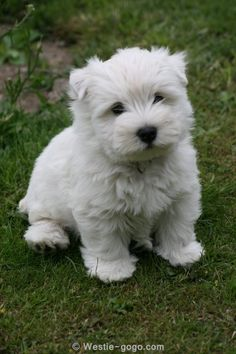 #westies - I want one of these little gorgeous things - in fact I want this little beauty - I think I'm getting one - will call her poppy me thinks ❤️