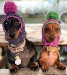 35 Trendy Ideas Dogs And Puppies Funny Dachshund Dachshund Breed, Dachshund Funny, Dachshund Love, Daschund, Funny Dachshund Pictures, Cute Puppies, Cute Dogs, Dogs And Puppies, Clever Dog