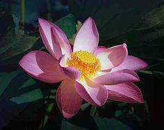 Google Image Result for http://1.bp.blogspot.com/_RU4fdNmsPuo/S8_kb0EU0TI/AAAAAAAABeg/DLiH41LjR0s/s400/lotus_flower.jpg