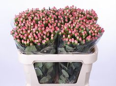 Coco Casino - Hypericum - Flowers and Fillers - Flowers by category | Sierra Flower Finder
