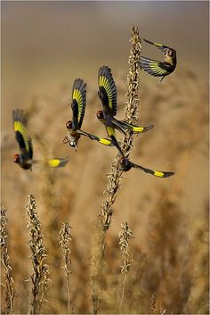 The European goldfinch or goldfinch (Carduelis carduelis), is a small passerine bird in the finch family that is native to Europe, North Africa and western Asia. It has been introduced to other areas including Australia, New Zealand and Uruguay.