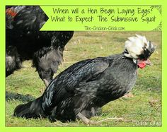 When Will a Hen Begin Laying Eggs? What to Expect: The Submissive Squat