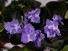 African Violet: Saintpaulia Taffeta Blue, by dendrofan, via Flickr