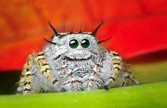The most amazing Jumping Spider ever - he's got spiky hair and looks like he's smiling what more could you ask for! :)