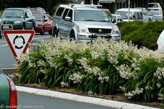 Rengarenga Lilies are in full bloom again. They are very popular for plantings on roadsides and traffic islands, and found in many a garden. A New Zealand native plant. Native Plants, Lilies, Shrubs, Wild Flowers, New Zealand, Islands, Garden Ideas, Irish, Exotic