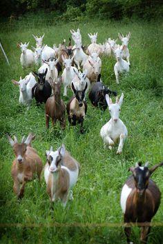 Goat Farm, Cassis & Melisse, QC