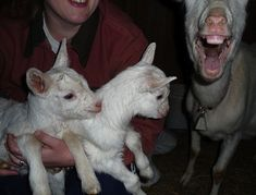 <b>The most important goatobombs of all time.</b>