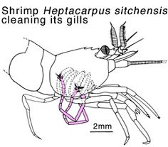 drawing showing a shrimp Heptacarpus sitchensis cleaning its gills