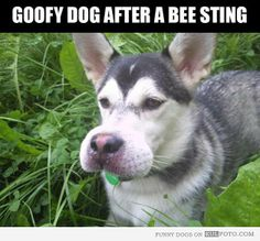 ... - Funny dog looking like Goofy with swollen nose after a bee sting