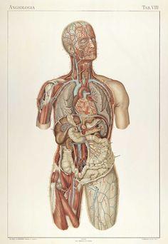 Plate VIII of Anatomie normale du corps humain: atlas iconographique de XVI planches by Sigismond Laskowski.